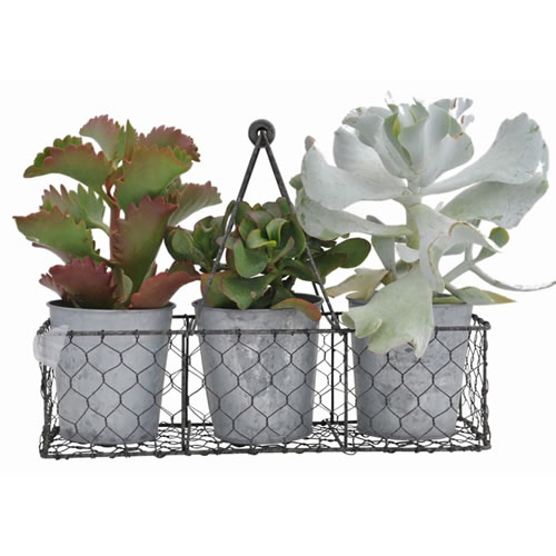 Pick of the Day Succulents