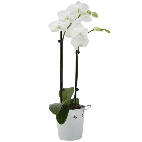 Double Spike White Orchid